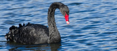 A black swan swimming in blue water.