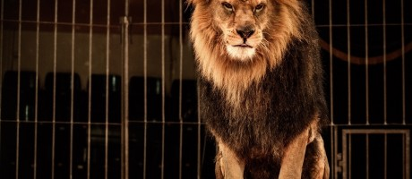 A lion in a circus cage.