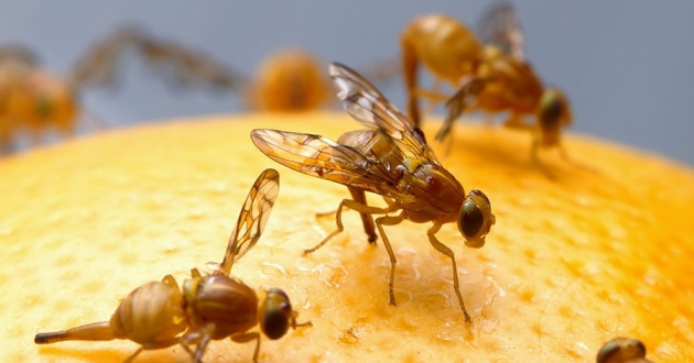 Fruit flies on fruit.