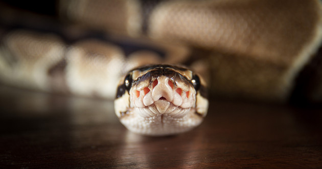 A royal python.