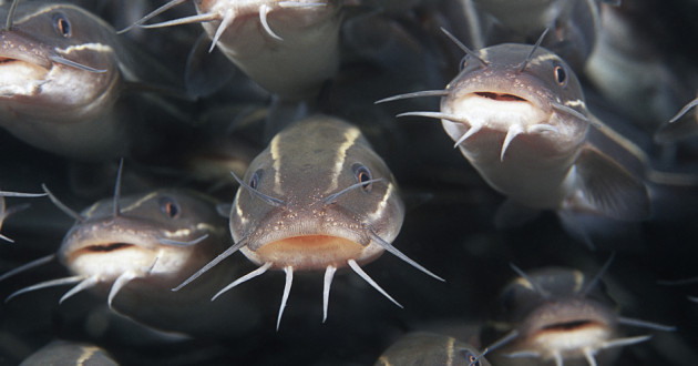 A school of striped catfish.