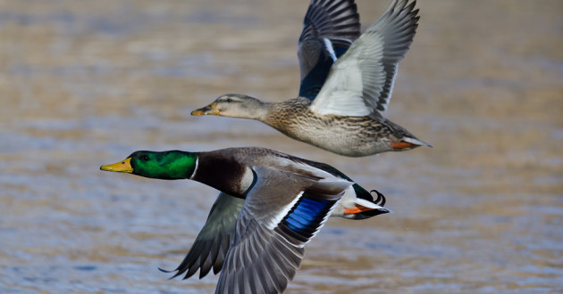 Two ducks flying over water.
