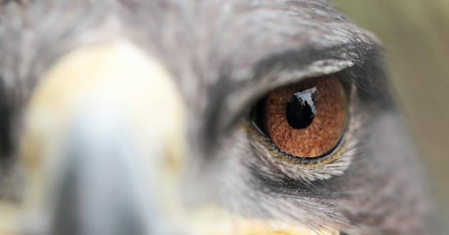 A close-up shot of an eagle's eye.